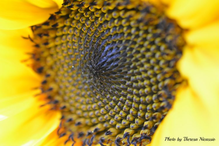 Sunflower | Photo by Theresa Nicassio